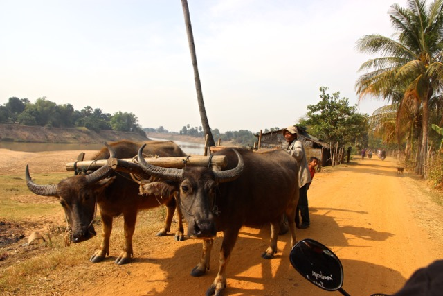 Búfalos