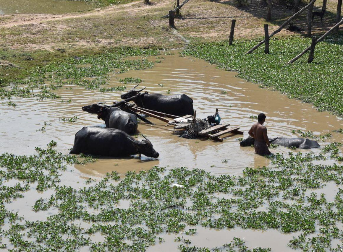 Búfalos en Camboya