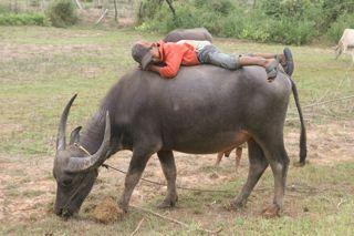 bufalo en camboya