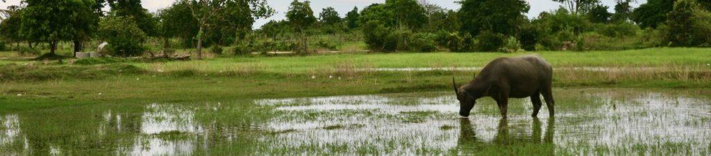 Búfalo en Camboya