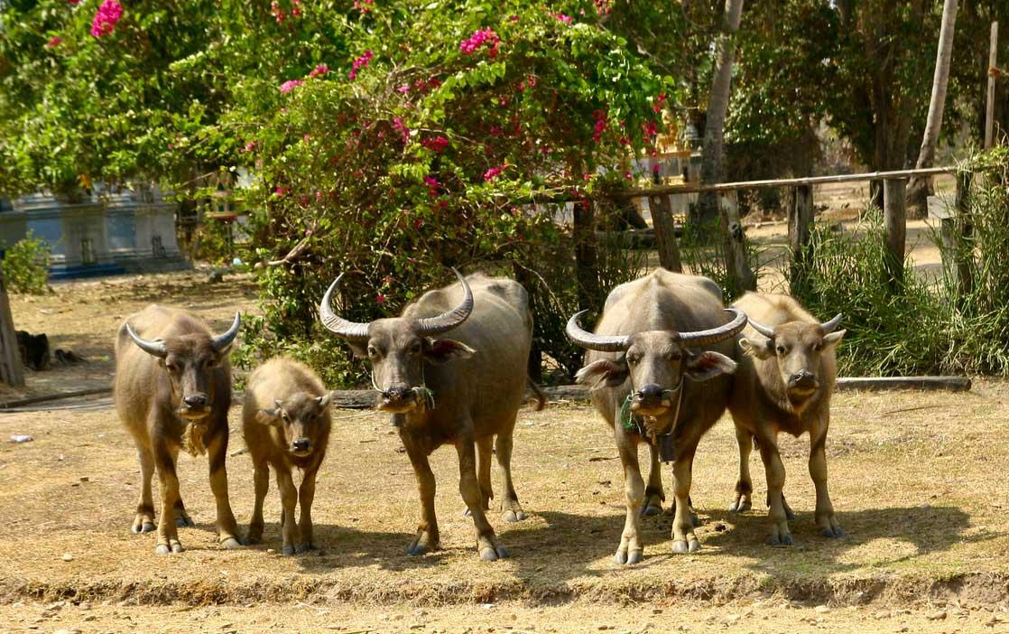Familia de búfalos en Camboya